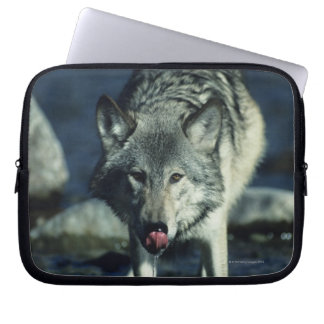 Gray wolf in Autumn drinking Laptop Sleeve