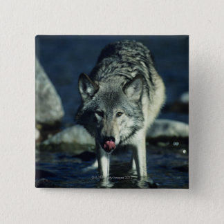 Gray wolf in Autumn drinking Pinback Button