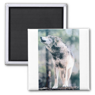 Gray Wolf in Grand Teton National Park Magnet