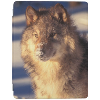 Gray Wolf in Snow iPad Smart Cover