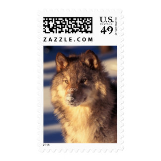 Gray Wolf in Snow Postage