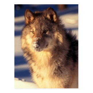 Gray Wolf in Snow Postcard