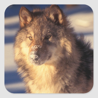 Gray Wolf in Snow Square Sticker