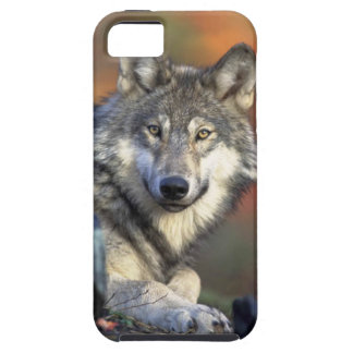 Gray Wolf Iphone 5 case
