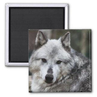 Gray Wolf Fridge Magnets