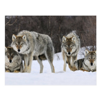 Gray Wolf Pack Postcard