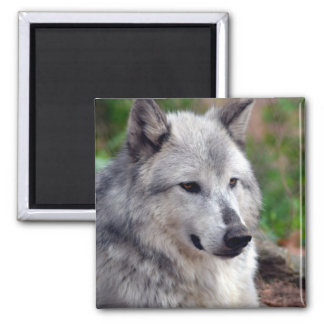Gray Wolf Pose-168 Magnets