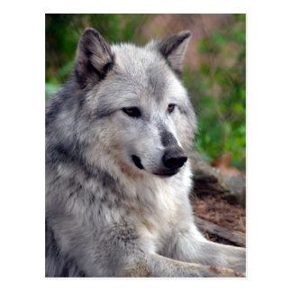 Gray Wolf Pose-168 Postcard