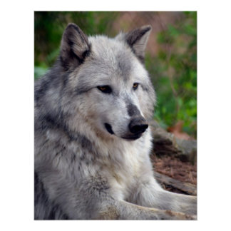 Gray Wolf Pose-168 Poster