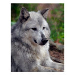 Gray Wolf Pose-168 Posters
