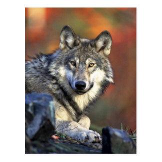Gray wolf postcard