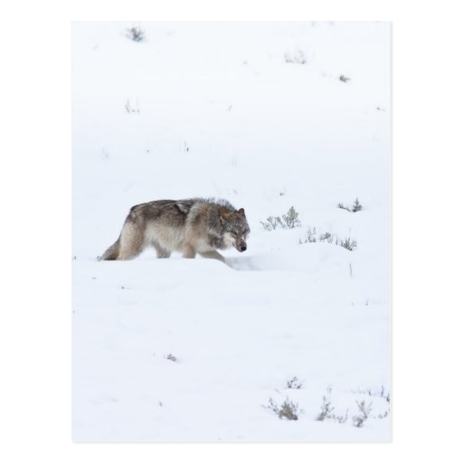 Gray Wolf Postcards