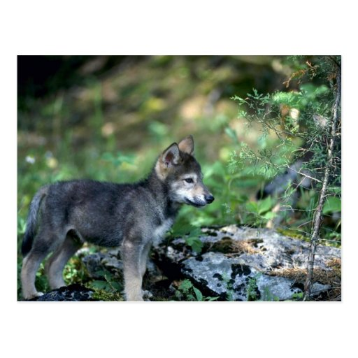 Gray Wolf-small pup in green woods Post Cards