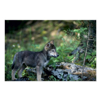 Gray Wolf-small pup in green woods Poster