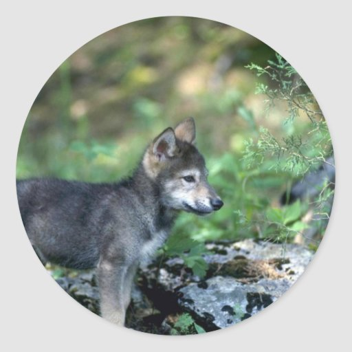 Gray Wolf-small pup in green woods Sticker