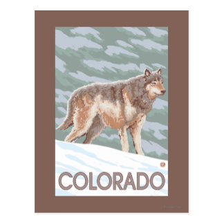 Gray Wolf StandingColorado Postcard