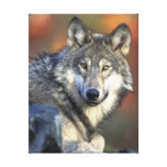 Gray Wolf Stretched Canvas Prints