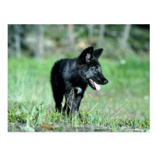 Gray Wolf-summer-(black-phase) cub Post Card