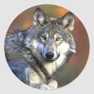 Gray Wolf - Timber Wolf - Red Wolf Series Classic Round Sticker