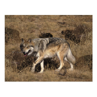Gray Wolf - Timber Wolf - Red Wolf Series Postcard