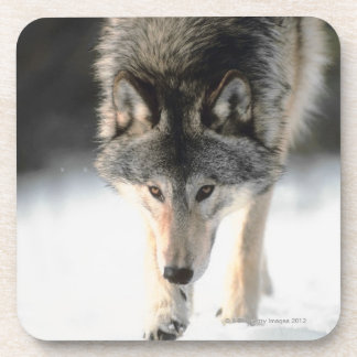 Gray wolf walking beverage coaster