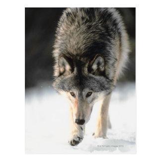 Gray wolf walking postcard