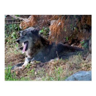 Gray Wolf Yawning. Zoo America, Hershey, Pennsylva Postcard