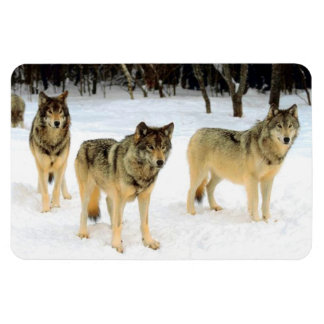 Gray Wolves in Snow Photograph Primium Magnet