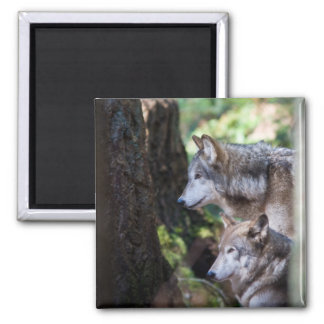 Gray wolves magnet