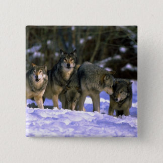 Gray Wolves-pack at edge of snowy forest Button