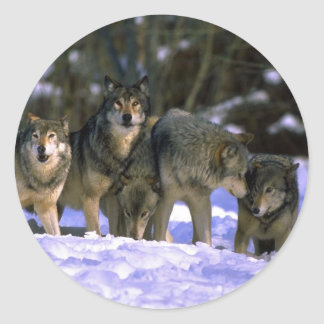 Gray Wolves-pack at edge of snowy forest Classic Round Sticker