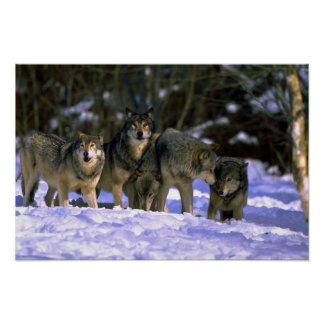 Gray Wolves-pack at edge of snowy forest Posters