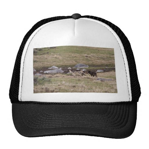Gray Wolves Playing Trucker Hat