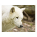 graywolf photo print