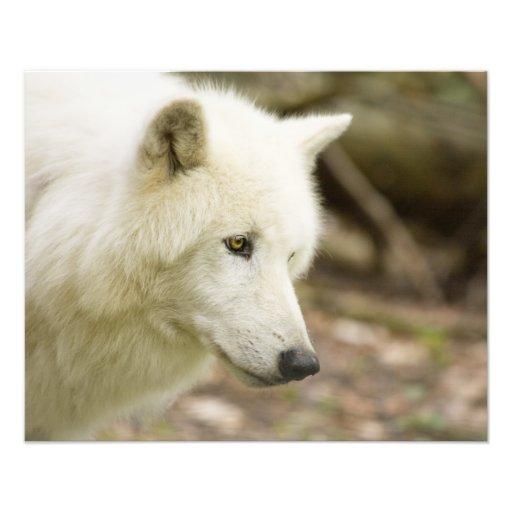 graywolf impresion fotografica