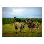 Grazing African Zebras Post Card