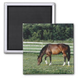 Grazing Bay with White Socks 2 Inch Square Magnet
