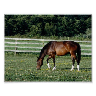Grazing Bay with White Socks Poster