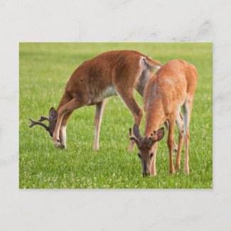 Grazing Bucks postcard