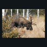 "Grazing Bull Moose Photo Print<br><div class=""desc"">Decorated with an image of a proud bull moose grazing on a mountainside in Alaska&#39;s Chugach State Park. By Ted Raynor</div>"