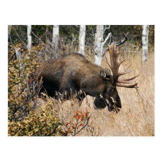 Grazing Bull Moose Postcard