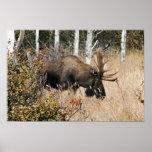 Grazing Bull Moose Poster
