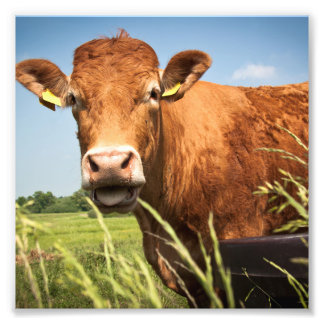 Grazing Cow Closeup Photo Print