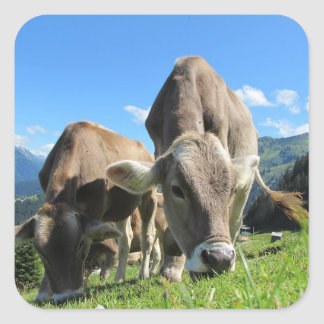 Grazing Cow  Stickers