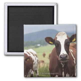 Grazing cows magnet