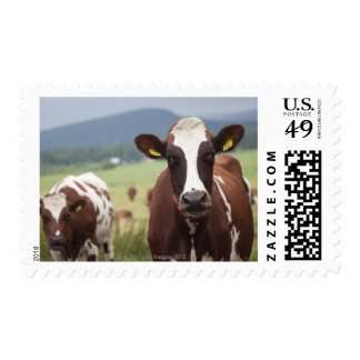 Grazing cows postage