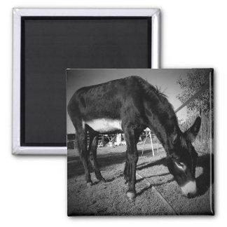 Grazing donkey magnet