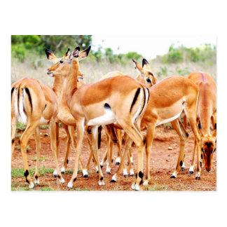 Grazing Gazelle's Postcard
