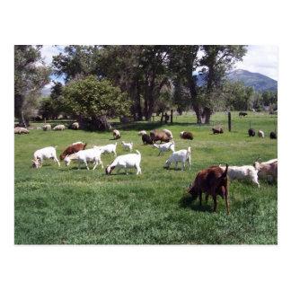 Grazing Goats Postcard