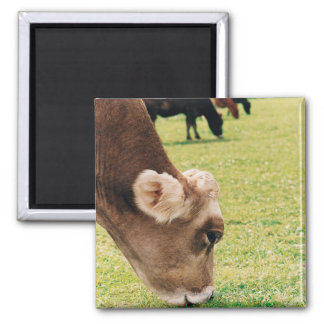 Grazing Jersey Cow Magnet
